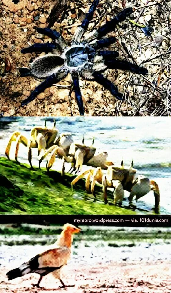 Dari atas kebawah: Laba-laba langka, kepiting langka dan burung langka (101dunia.com)