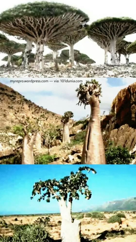 Dari atas ke bawah: Pohon Darah Naga, Pohon Dorstenia Socotra dan Pohon Dendrosicyos Socotra (101dunia.com).